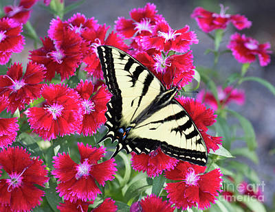 Photograph - Swallowtail On Red Flowers by Mimi Ditchie