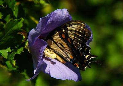 Photograph - Swallowtail On Rose Of Sharon by Kathryn Meyer