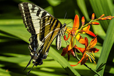 Photograph - Swallowtail On The Crocosmia by Belinda Greb