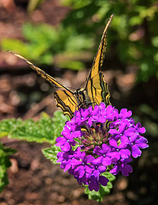 Photograph - Swallowtail On Verbena by Loree Johnson