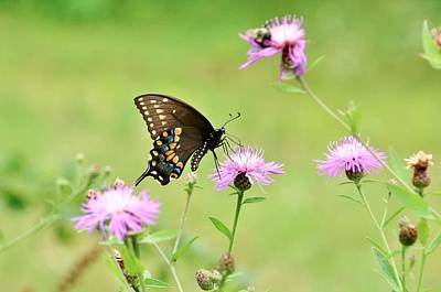 Photograph - Swallowtail On Wild Flowers by Karen Silvestri