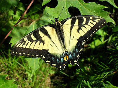 Photograph - Swallowtail by Peggy King