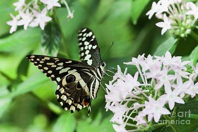 Photograph - Swallowtail Perching  by Ruth Jolly