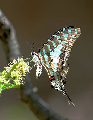 Photograph - Swallowtail by Roger Lever
