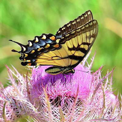 Photograph - Swallowtail Serenity by Nanette OHara