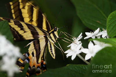 Photograph - Swallowtail Sips by Ruth Jolly