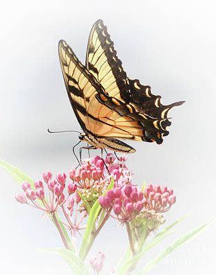 Photograph - Swallowtail Splendor by Anita Oakley