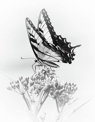 Photograph - Swallowtail Splendor II by Anita Oakley
