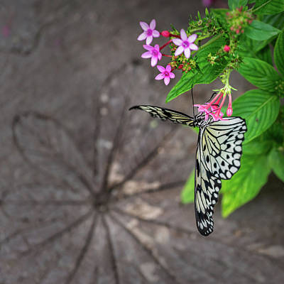 Photograph - Swallowtail by Steven Greenbaum