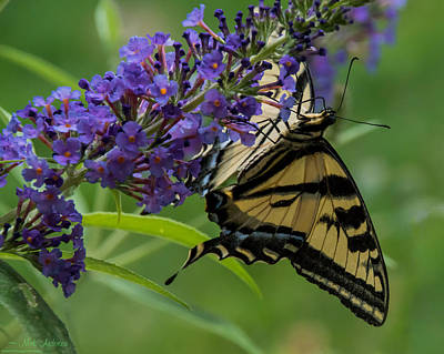 Photograph - Swallowtail Taking A Sip by Mick Anderson