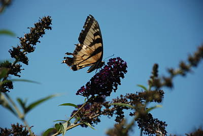Swallowtail Art Print by William Thomas