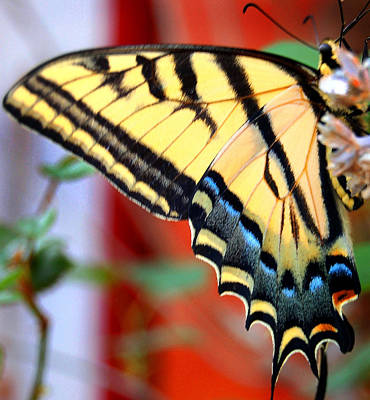 Swallowtail Wing Art Print by Heather S Huston