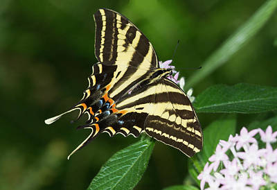 Photograph - Swallowtail Wingspread  by Ruth Jolly
