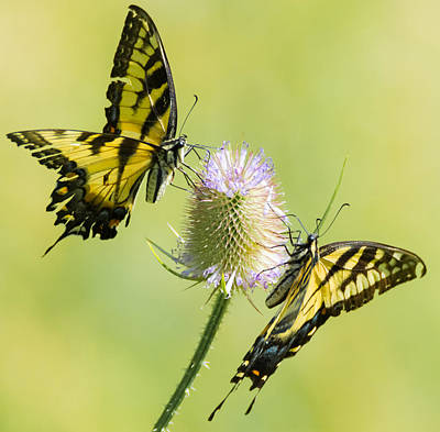 Photograph - Swallowtails On Thistle  by Richard Kopchock