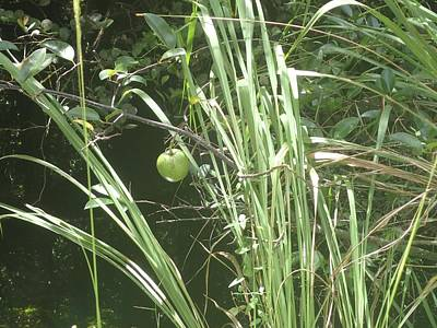 Photograph - Swamp Apple by Denise Cicchella
