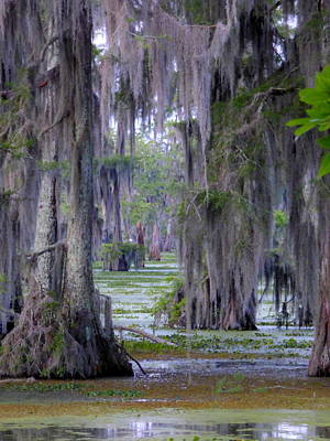 Photograph - Swamp Curtains In April by Kimo Fernandez
