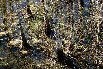 Photograph - Swamp Cypress by Mary Haber