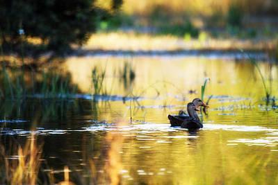 Estuary Photograph - Swamp Ducks by J Darrell Hutto