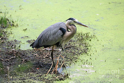 Great Blue Herons Photograph - Swamp Heron 2 by Carol Groenen