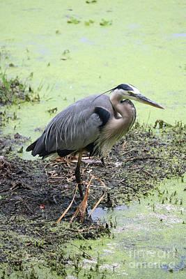 Photograph - Swamp Heron by Carol Groenen