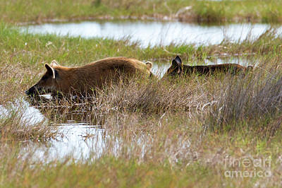 Photograph - Swamp Hogs by Mike Dawson