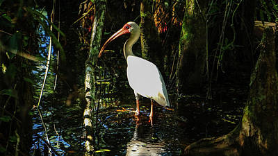 Photograph - Swamp Ibis Boynton Beach Florida by Lawrence S Richardson Jr