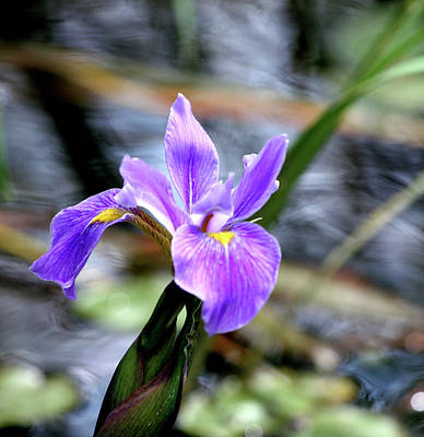 Photograph - Swamp Lily by Ree Reid