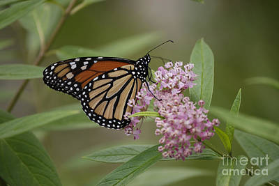 Swamp Milkweed Monarch Art Print