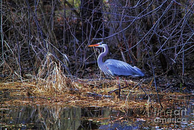 Photograph - Swamp Mucking Heron by Cathy  Beharriell