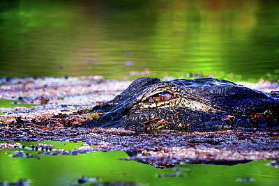 Reptiles Photograph - Swamp Patrol by Mark Andrew Thomas