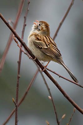 Photograph - Swamp Sparrow by Bill Wakeley