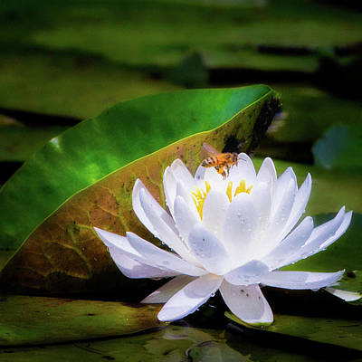 White Water Lilies Photograph - Swamp Worker Square by Bill Wakeley