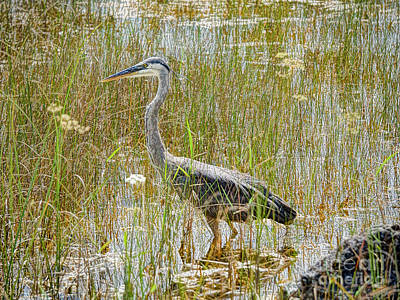 Photograph - Swamped Blue Heron by Judy Kay