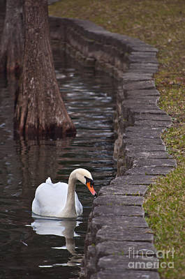 Photograph - Swan 2 by Laurie Hasan