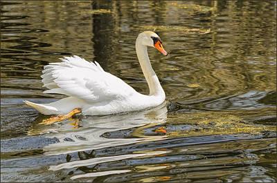 Photograph - Swan A Swimmin by LeeAnn McLaneGoetz McLaneGoetzStudioLLCcom