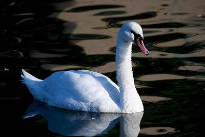 Photograph - Swan A Swimming by Eric Tressler