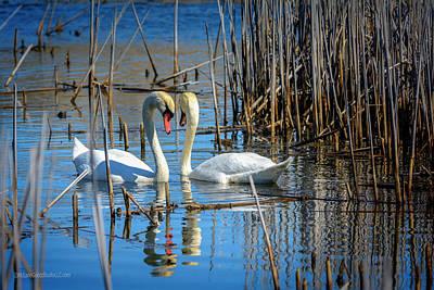 Photograph - Swan Affections by LeeAnn McLaneGoetz McLaneGoetzStudioLLCcom