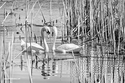 Photograph - Swan Affections Monochrome by LeeAnn McLaneGoetz McLaneGoetzStudioLLCcom