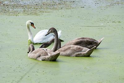 Curated Beach Towels - Swan and Cygnets by Linda Kerkau