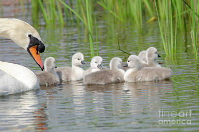 Photograph - Swan And Cygnets by Steev Stamford