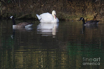 Photograph - Swan And Geese by Jeremy Hayden
