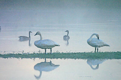 Abstract Animalia - Swan and Geese by Pete Fisk