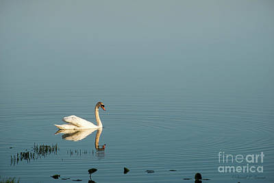 Photograph - Swan And Reflection by David Arment