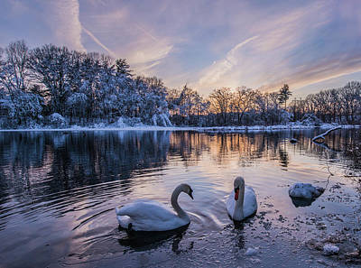 Photograph - Swan And Snow by Ziming Zheng