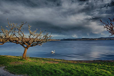 Photograph - Swan And Tree by Roberto Pagani