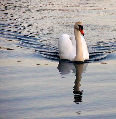 High Iso Photograph - Swan At 3200 by Nik Watt
