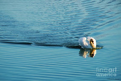 Photograph - Swan At Full Speed by David Arment