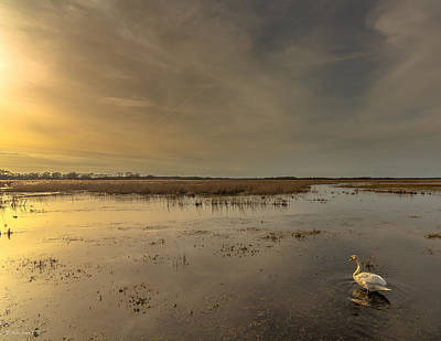 Photograph - Swan At Sunset by Julis Simo