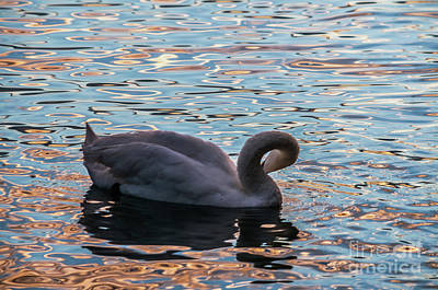 Photograph - Swan At Sunset by Michelle Meenawong