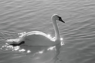 Photograph - Swan Bathed In Light by Carolyn Dalessandro